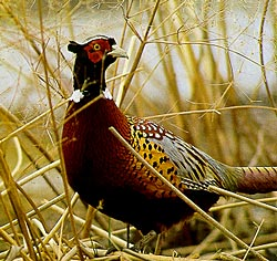 The mighty male Ringneck Pheasant